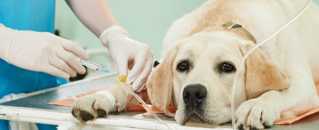 Chemotherapy Dogs Cats