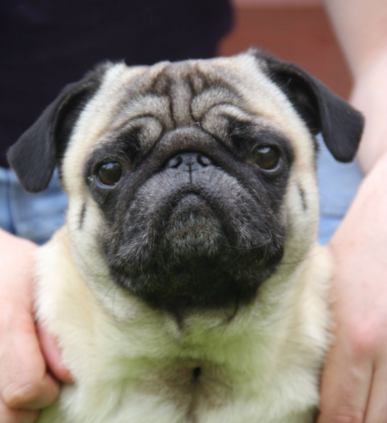 Brachycephalic Syndrome In Sub Nosed Breeds
