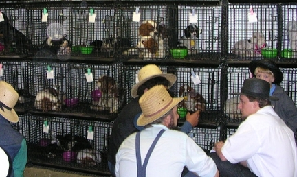 Amish Among Worst Inhumane Puppy Mill Offenders