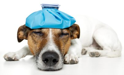 Canine Influenza - Dog Flu