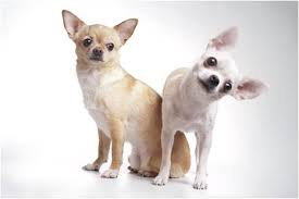 Chihuahua Pet Insurance Story