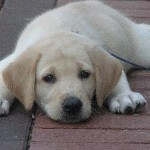 Puppy Parvo Virus
