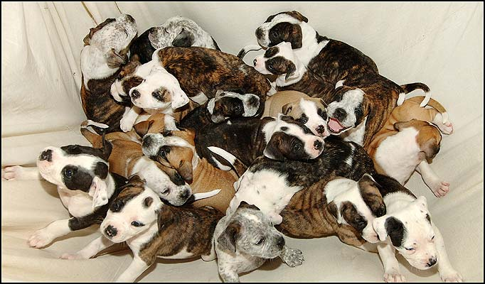Dogs reproducing