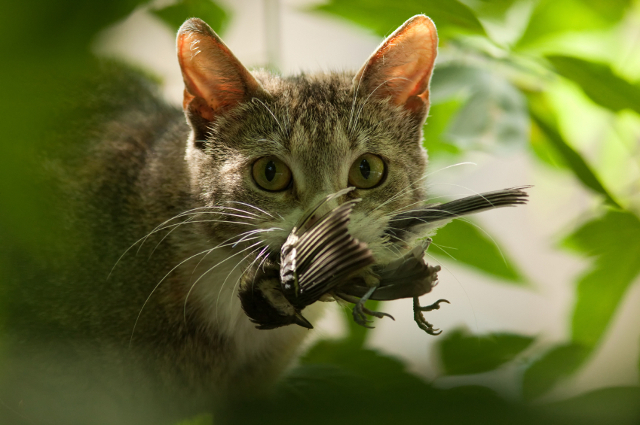 Feline Trap Spay-Neuter Release and it Impact on Wildlife
