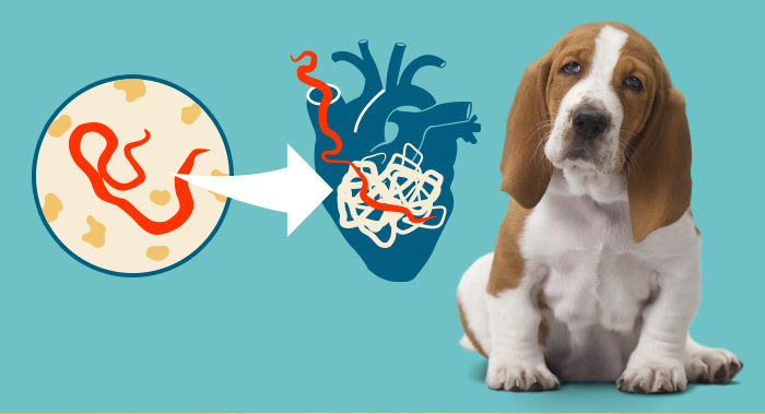 Treatment Heartworm Disease