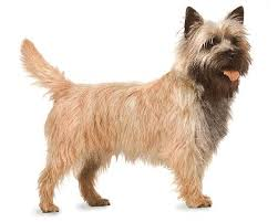 Cairn Terrier - Common breed affected by Canine Idiopathic Vacuolar Hepatopthy