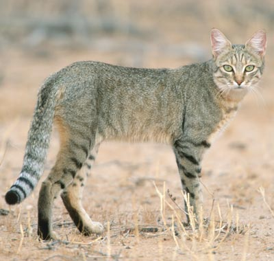 African Wildcat The Ancestor of the Domestic Cat