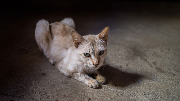 Mystery Weight Loss In Cats, What Is The Cause?