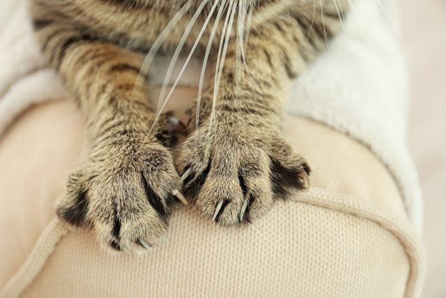 Cat Declaw Is Controvertial And Faces Bans In Many States And Cities