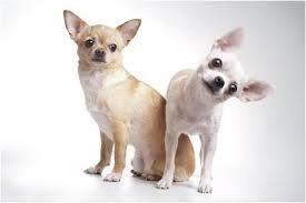 Chihuahua Pet Insurance Story