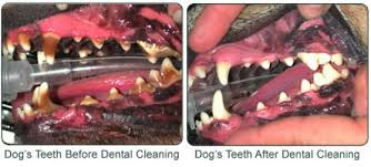 Before and After Dog Dental Cleaning Images