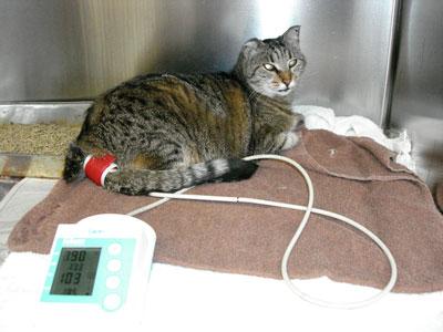 Blood Pressure Measurement Cats